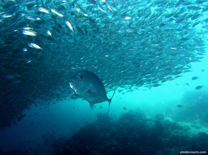 Swim with 1.5 meter Jackfish