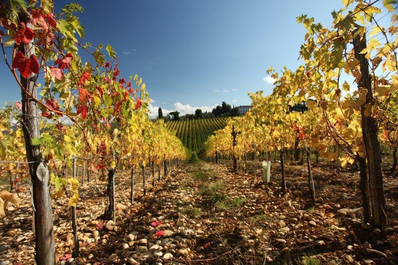 Autumn Vineyards