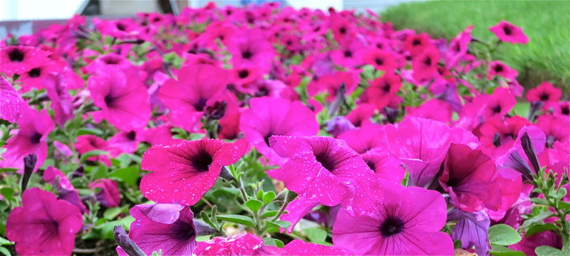 Our signature pink petunias electrify the property