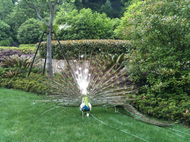Peacock On The Lawn