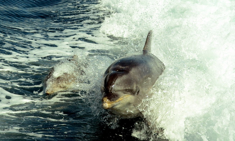 Mother And Baby Dolphin in action