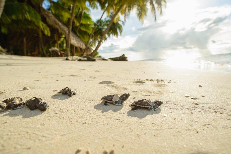 Hawksbill Turtle hatchlings