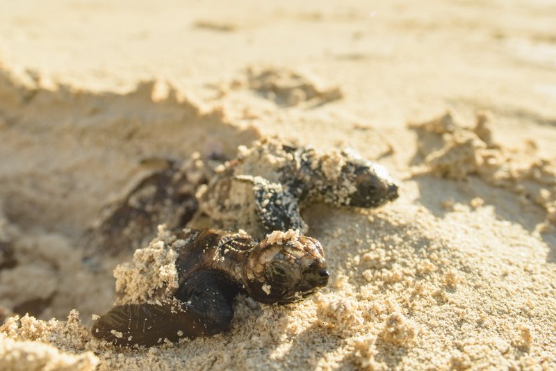 Hawksbill Turtle, just hatched