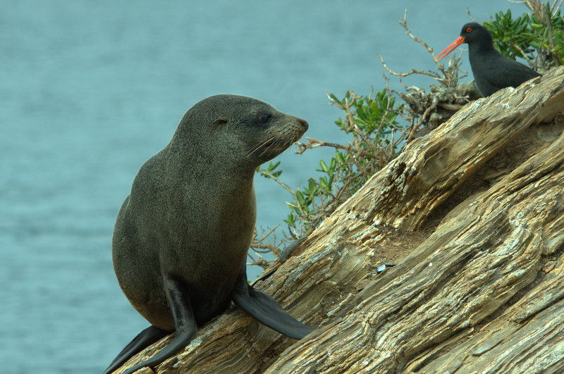 Seal And Oyster Catcher