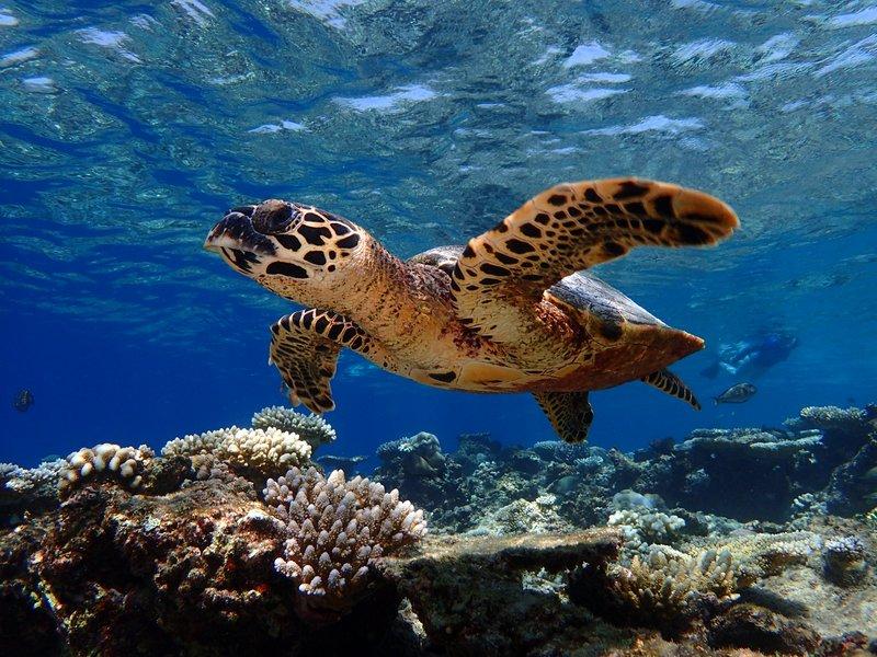 Baros Maldives Housereef Turtles