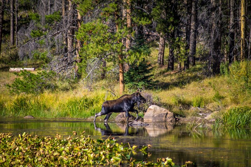 Moose In Fall